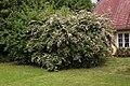 Kolkwitzia amabilis (Paradisbuske) 005.jpg