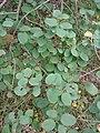 Korina 2010-09-08 Amelanchier alnifolia 2.jpg