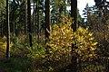 Korina 2013-10-22 Prunus serotina 2.jpg