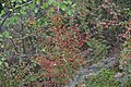 Korina 2016-10-15 Cotoneaster divaricatus 9.jpg
