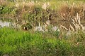 Koshi Tappu Wildlife Reserve-1154.jpg