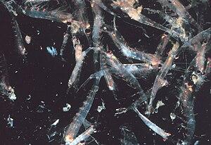 Krill - A krill swarm