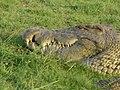 Krokodil (6558984711).jpg