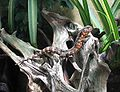 Krokodilschwanz-Höckerechse (Shinisaurus crocodilurus) (2).JPG