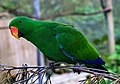 Kuranda Eclectus Parrot-02 (8232341100).jpg