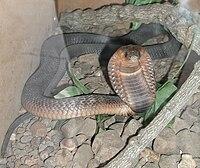 Ejemplar de cobra de Egipto en estado de alerta