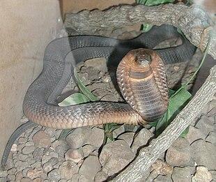 """Egyptian cobra, <em><a href=""""http://search.lycos.com/web/?_z=0&q=%22Egyptian%20cobra%22"""">Naja haje</a></em>"""