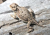 Great short-horned toad lizard