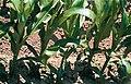LPCC-809-Plantes de blat de moro en creixement.jpg