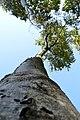 LSG Kühlung - Nienhäger Holz (Gespensterwald) - Blick nach oben (13).jpg