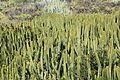 La Palma - Villa de Mazo - Lugar Playa La Salemera-Lomo Oscuro - Euphorbia canariensis 04 ies.jpg