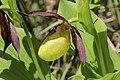 Lady's-Slipper Orchid - Cypripedium calceolus (14041442060).jpg