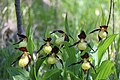 Lady's-Slipper Orchid - Cypripedium calceolus (14041477587).jpg