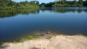 Lake Alice (Gainesville, Florida) - One of the lake's many alligators basks in the sun.