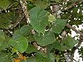 Lamiaceae (Vitex pinnata) (15813614122).jpg