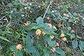 Lantana camara plant DC5.jpg