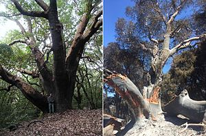 Soberanes Fire - The largest madrone in the United States was burned and possibly killed by the 2016 Soberanes Fire.