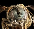 Lasioglossum 2, f, face, Humboldt Co. CA (27568848086).jpg