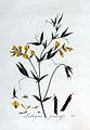 Lathyrus pratensis — Flora Batava — Volume v3.jpg
