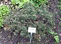 Latschen-Kiefer - Pinus mugo var. pumilio.jpg