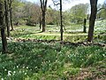 Laurel Ridge Foundation Narcissus Plantings - IMG 6453.JPG