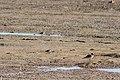 Least sandpiper (38703033512).jpg