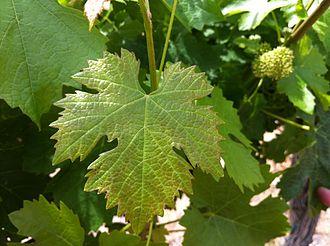 Blaufränkisch - Blaufränkisch leaf from Red Willow Vineyard in Washington State.