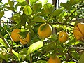 Lemon tree (2452034454).jpg