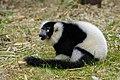 Lemur (25990382697).jpg