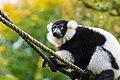 Lemur (26245196089).jpg