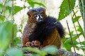 Lemur (44298653264).jpg