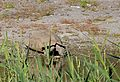 Leopard Tortoise (Stigmochelys pardalis) drinking ... (31991947213).jpg