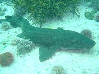 Leopard catshark Species of shark