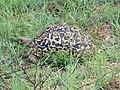 Leopard tortoise (394310969).jpg