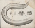 Lepidosiren paradoxa - 1700-1880 - Print - Iconographia Zoologica - Special Collections University of Amsterdam - UBA01 IZ14300001.tif