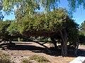 Leptospermum laevigatum in Balboa Park 3.jpg