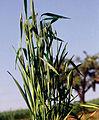 Les Plantes Cultivades. Cereals. Imatge 1795.jpg