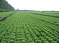 Lettuce harvest, Methwold Common, Norfolk - geograph.org.uk - 49141.jpg