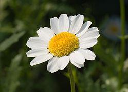 Leucanthemum paludosum May 2008.jpg