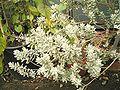 Leucophyllum frutescens 01 ies.jpg