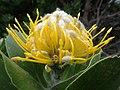 Leucospermum conocarpodendron ssp. viridum Betty's Bay 02.jpg