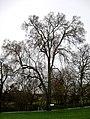 Lewisham elm 1.jpg