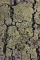 Lichen (41969531595).jpg
