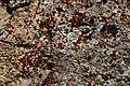 Lichen (43478745094).jpg