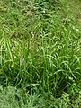 Liesgras planten Glyceria maxima.jpg