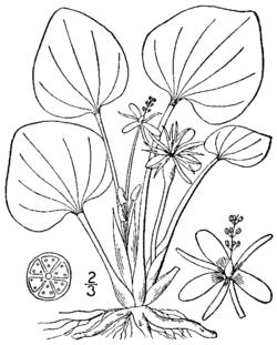 Limnobium spongia BB-1913.png