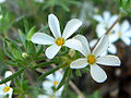 Linanthus nuttallii var pubescens 5.jpg