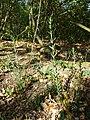 Linaria genistifolia (subsp. genistifolia) sl38.jpg