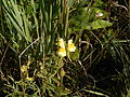 Linaria vulgaris - 01.jpg