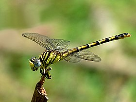 Lined Hooktail Paragomphus lineatus Female.jpg